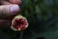 held fig