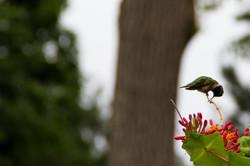 Zendo Hummingbird_052