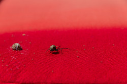 Cushion Spider_14