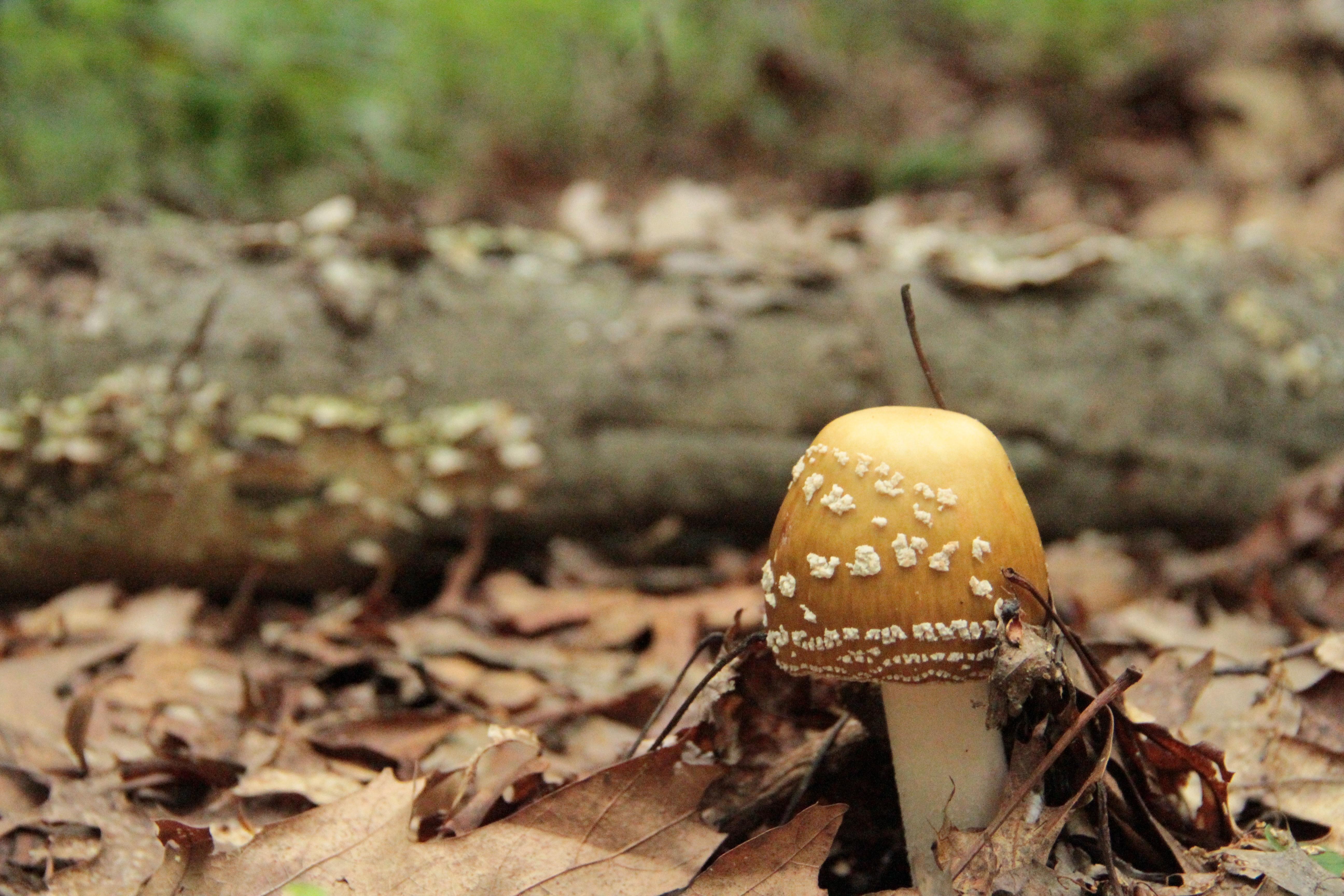 golden shroom