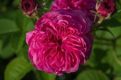 Color Rose