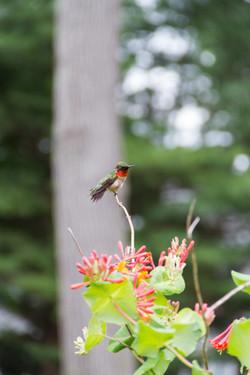 Zendo Hummingbird_106