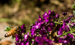 purple honey bee