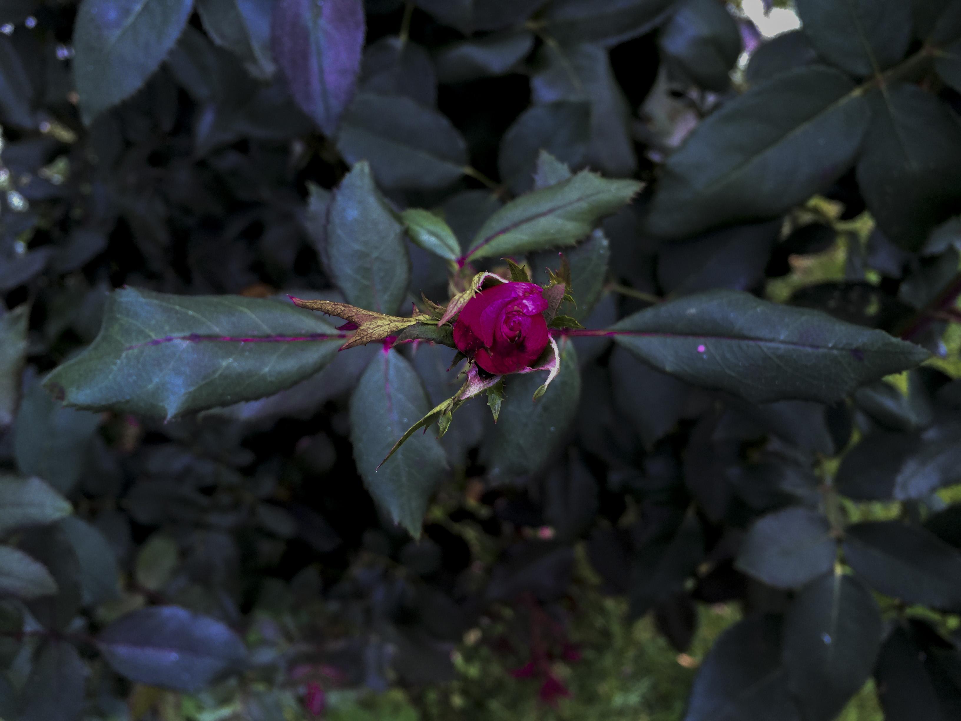 iphone arial rose