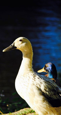 These ducks are different colors.jpg But they're both still ducks