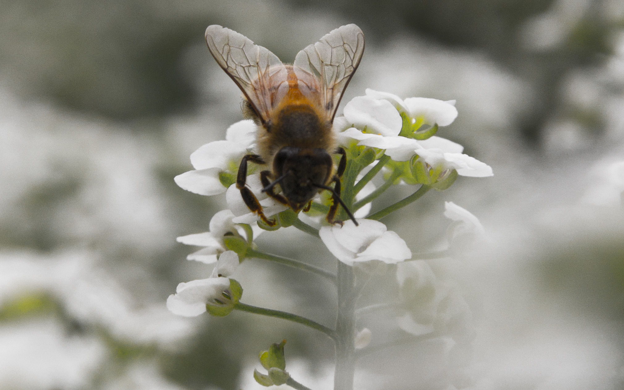honey bee 2 close up