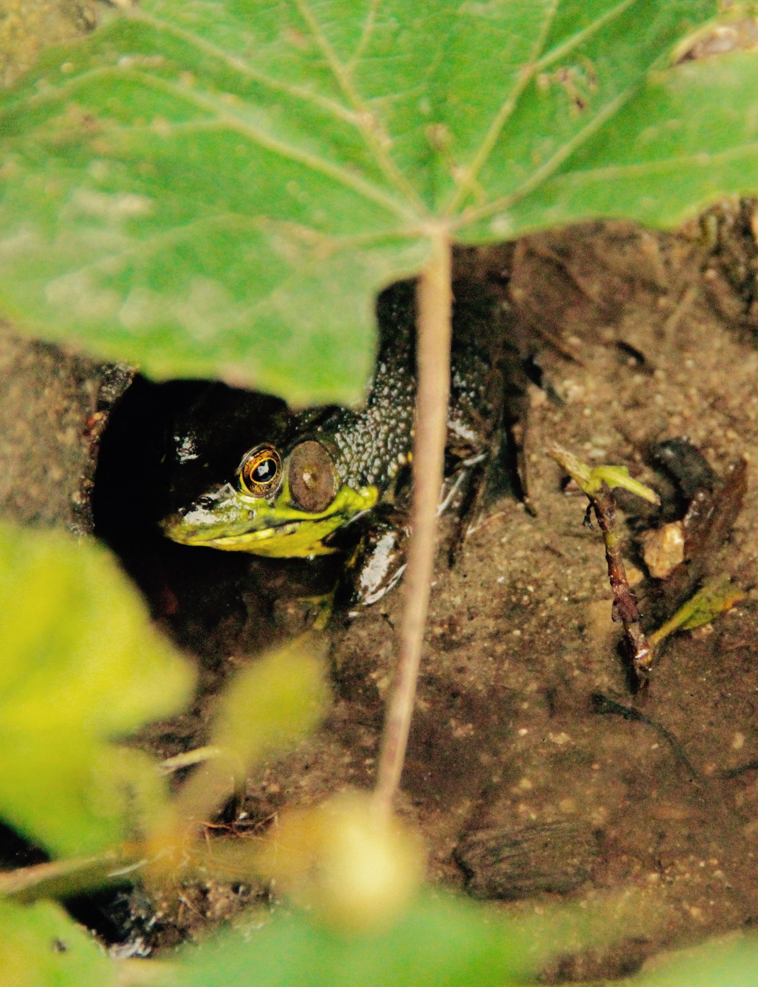 frog hiding