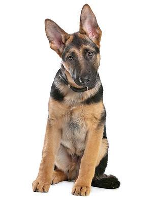 Dog Pulls on Leash Tarzana