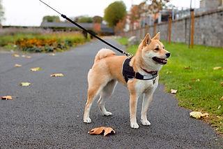 Dog pulls on leash
