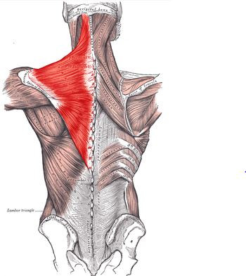 muscles targeted during rowing exercises
