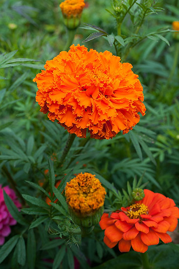 MARIGOLD African Kees Orange