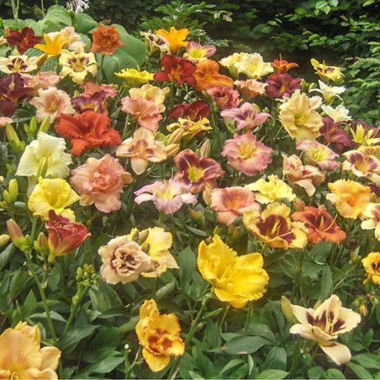 Assorted Daylilies