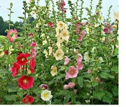 Fig Leaf Hollyhock