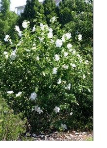 Rose of Sharon - White