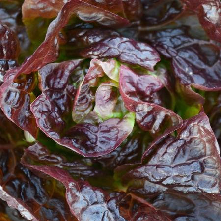 LETTUCE RED BUTTERHEAD