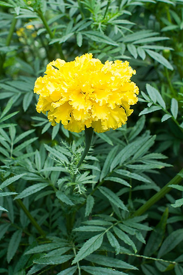 MARIGOLD Yellow Supreme