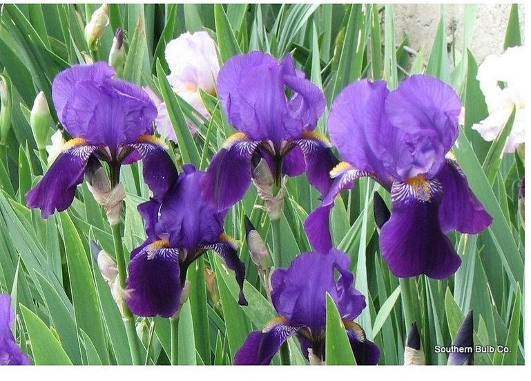 Bearded Iris - Purple & White