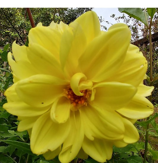 Sunny Yellow Dahlia