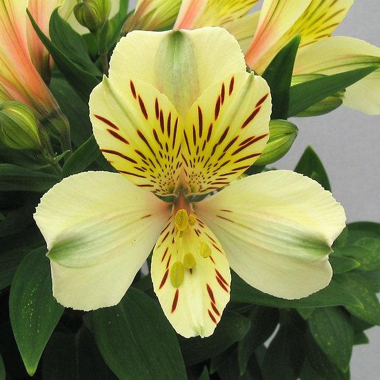 Peruvian Lily Alstroemeria Inca Sundance