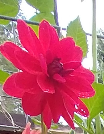 Neon Red Dahlia Water Lily Shape Flower