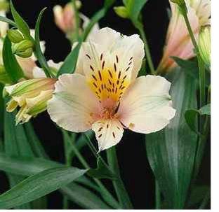 Peruvian Lily.