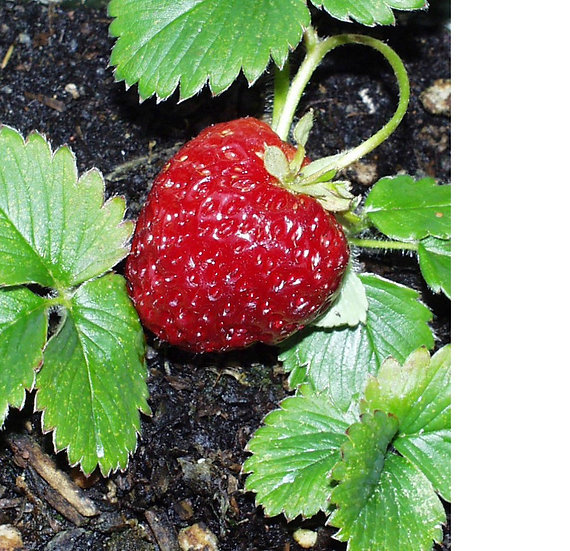 Marshall Strawberries