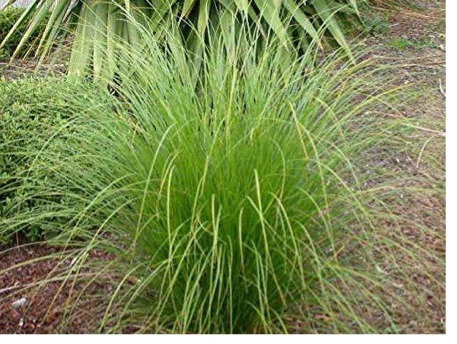 New Zealand Sedge