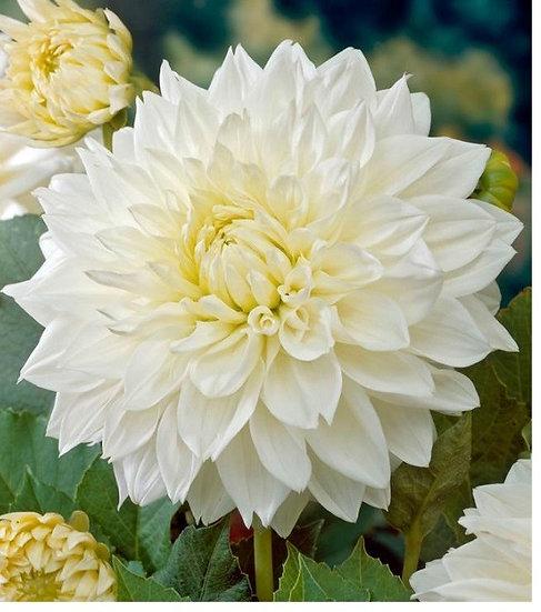 Large White Dahlia