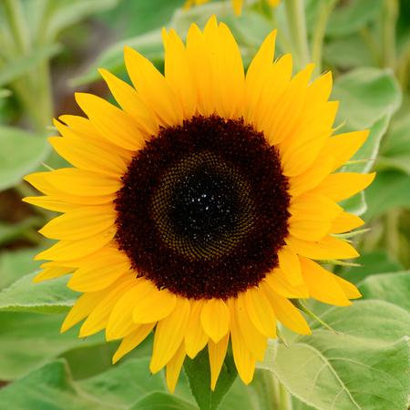 SUNFLOWER ZOHAR