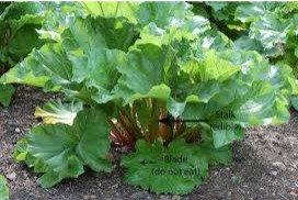 Rhubarb Edible