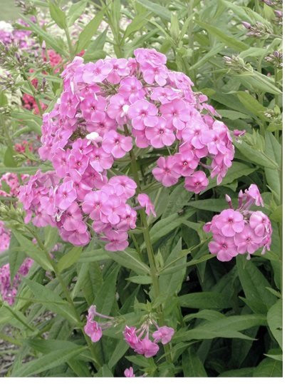 Pink Phlox - Not sure on variety