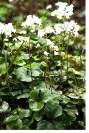 3-Leaf Cardamine