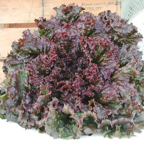LETTUCE RED SAIL