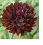 Black Beauty Dahlia