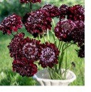 Dark Knight - Scabiosa
