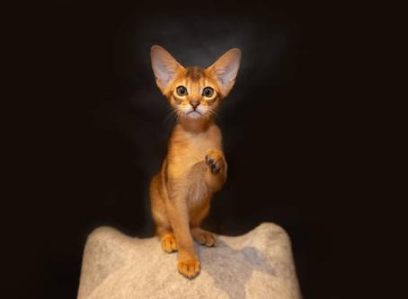 Характер и повадки абиссинских кошек