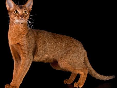 Плюсы и минусы стерилизации кошки
