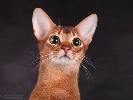 5 фактов об абиссинских кошках