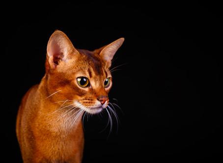 Плюсы и минусы кастрации кота