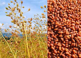 семена рыжика.jpg