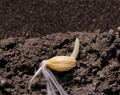 семена.jpg