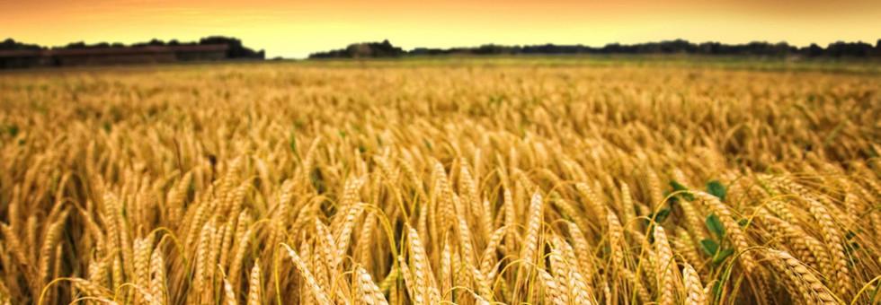 пшеница.jpg