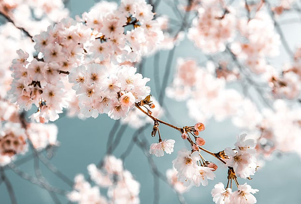 blossom-branch-desktop-backgrounds-flora