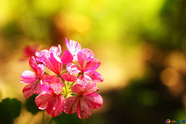 house-flowers-geranium-beautiful-flower-