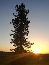 Notre séquoia geant et le coucher de soleil