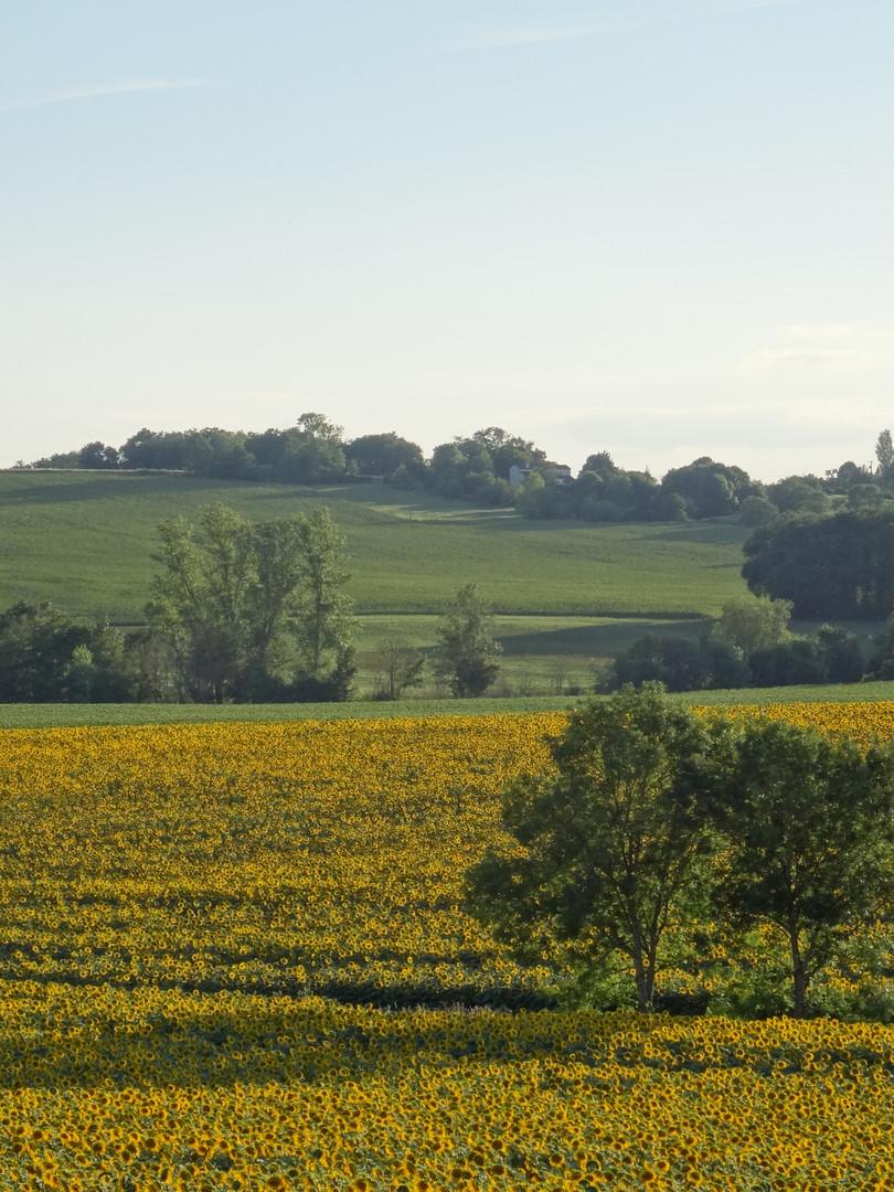 Vue sur les champs de tournesols depuis le jardim