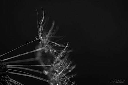 Noir & blanc de pissenlit