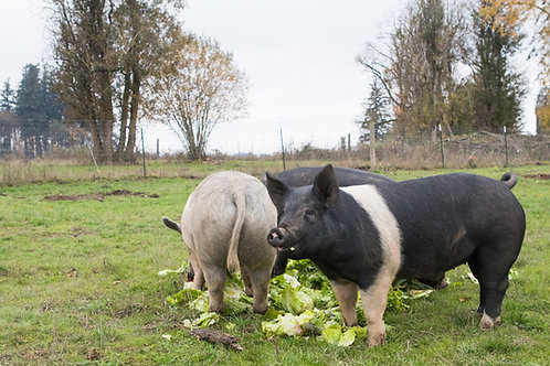 Pastured Pork Share WHOLE HOG (Deposit) | $4.50/lb