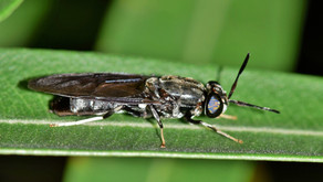 A primer on the Black Soldier Fly Market in Asia