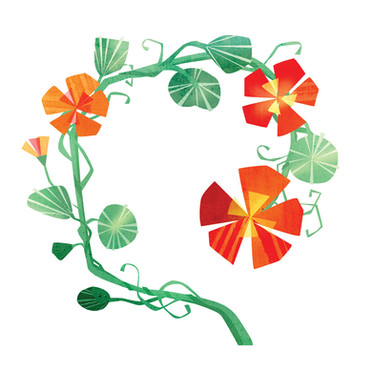 Nasturtiums illustration